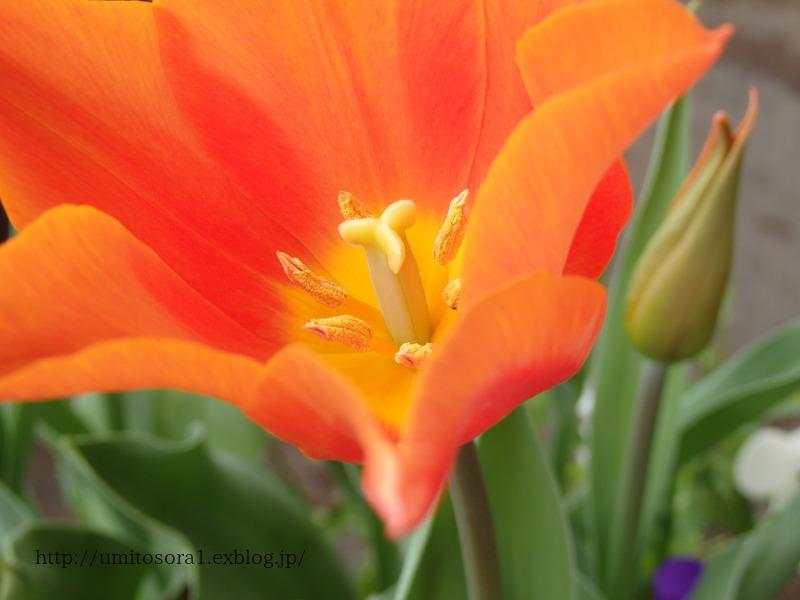 チューリップが咲きました♪_b0324291_19105705.jpg