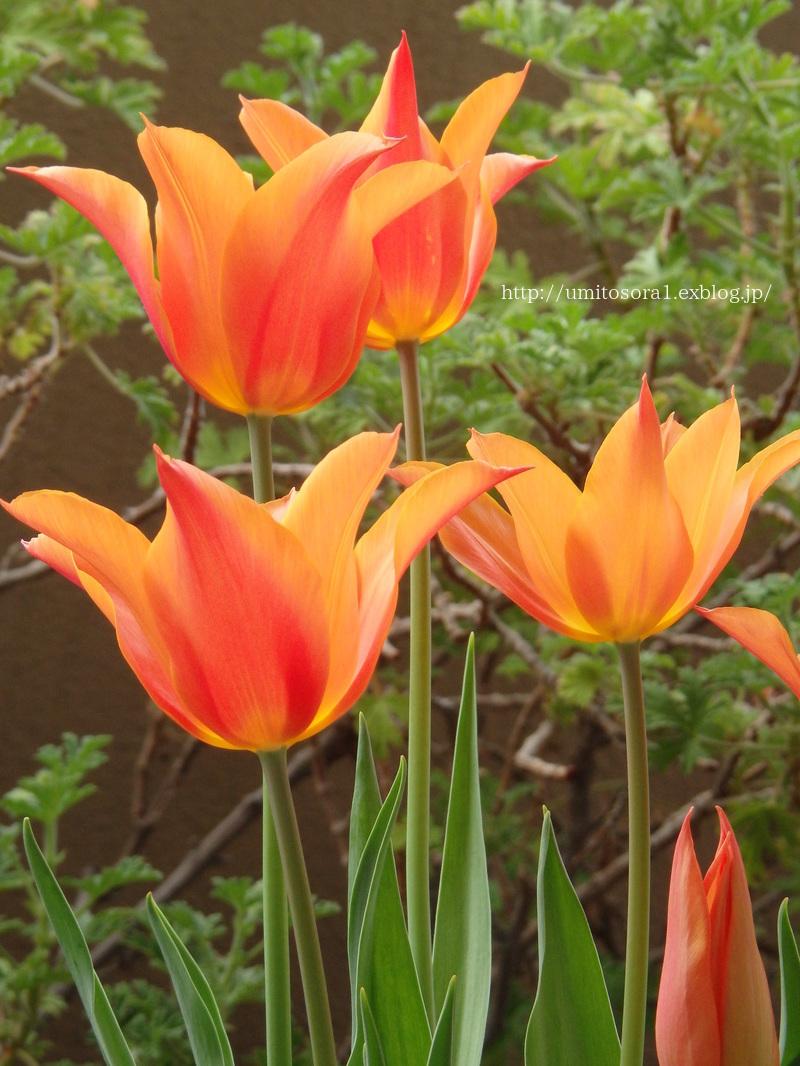 チューリップが咲きました♪_b0324291_19105798.jpg