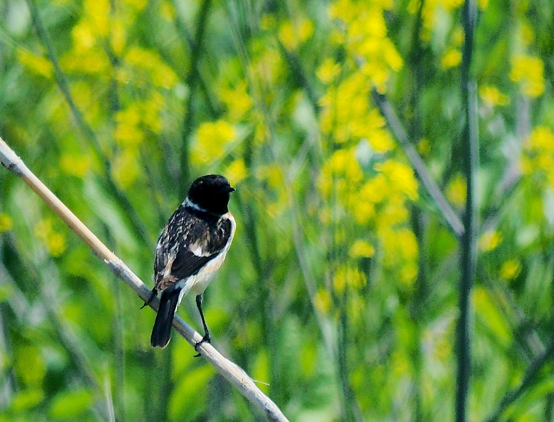 春のノビタキ_e0254493_1513317.jpg