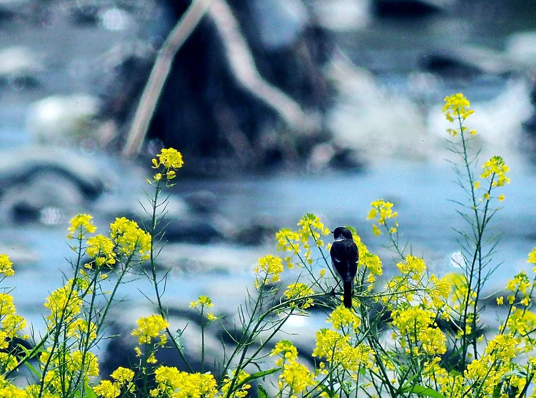 春のノビタキ_e0254493_1515914.jpg