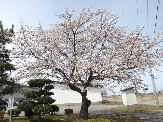 山形県庄内地方でお花見_f0019498_1739186.jpg