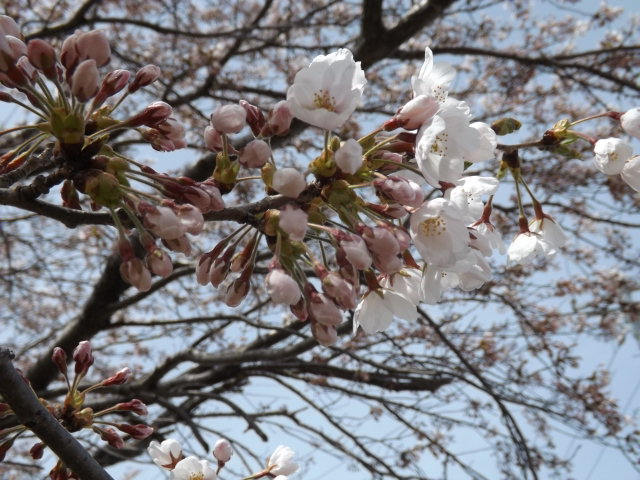 山形県庄内地方でお花見_f0019498_17475443.jpg
