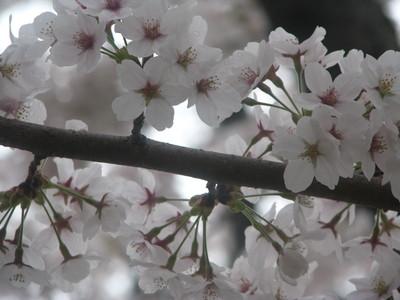 雨と桜と水仙と。_c0289116_2051118.jpg