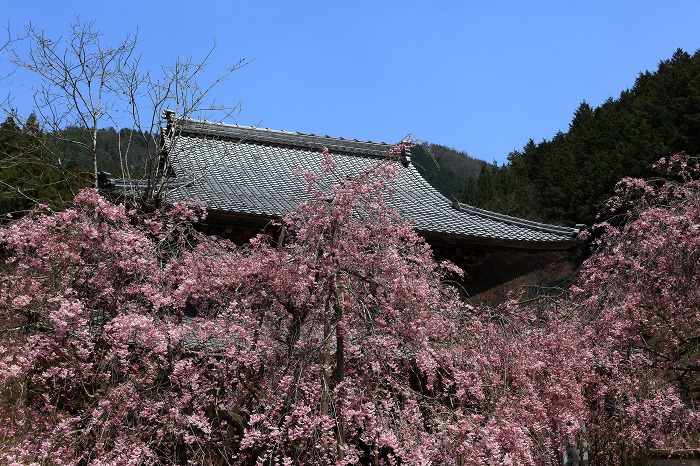2014 桜 大同寺_a0294534_21172478.jpg