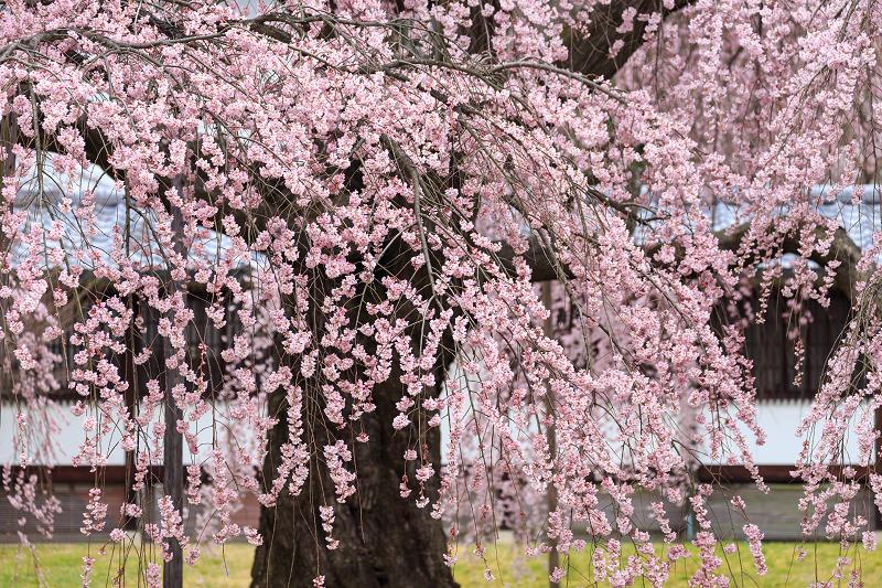 霊宝館・しだれ桜(醍醐寺)_f0155048_23471887.jpg