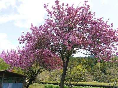 株式会社旬援隊はこんなとこです!満開の八重桜と敷地内の様子_a0254656_1813089.jpg