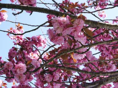 株式会社旬援隊はこんなとこです!満開の八重桜と敷地内の様子_a0254656_18434650.jpg