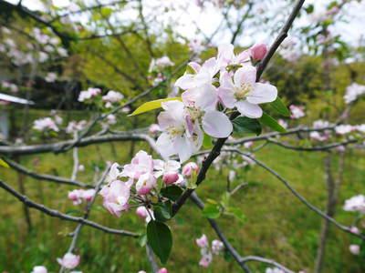 株式会社旬援隊はこんなとこです!満開の八重桜と敷地内の様子_a0254656_18501256.jpg