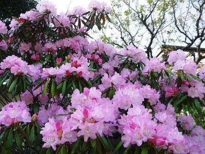 株式会社旬援隊はこんなとこです!満開の八重桜と敷地内の様子_a0254656_1913754.jpg