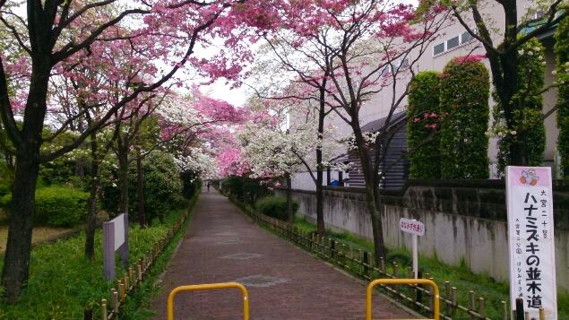 桜が終わると、はなみずきの出番_d0116059_20455153.jpg