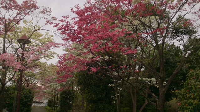 桜が終わると、はなみずきの出番_d0116059_20492717.jpg
