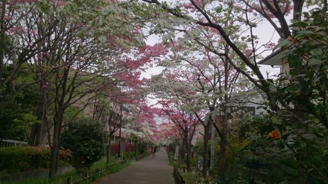 桜が終わると、はなみずきの出番_d0116059_20573868.jpg