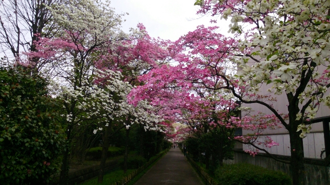 桜が終わると、はなみずきの出番_d0116059_2057935.jpg