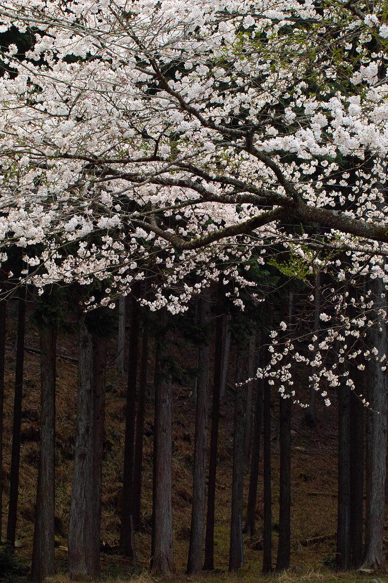桜 2014 丹波                   _f0021869_21251177.jpg