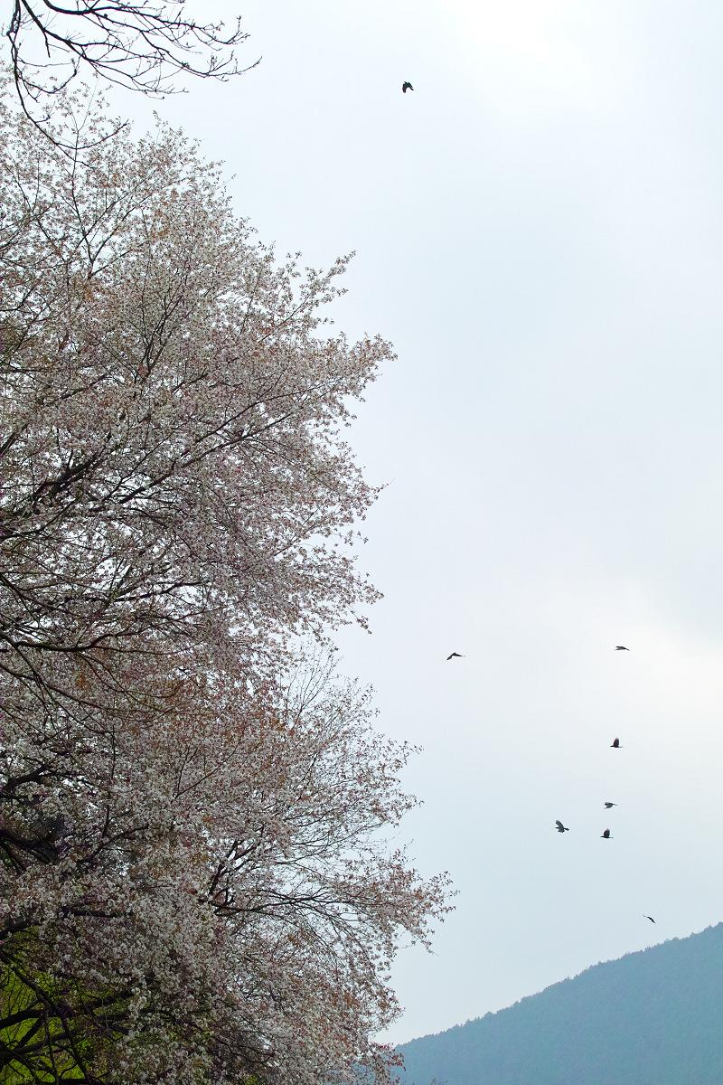 桜 2014 丹波                   _f0021869_21272466.jpg
