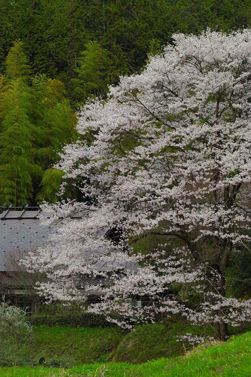 桜 2014 丹波                   _f0021869_21285527.jpg