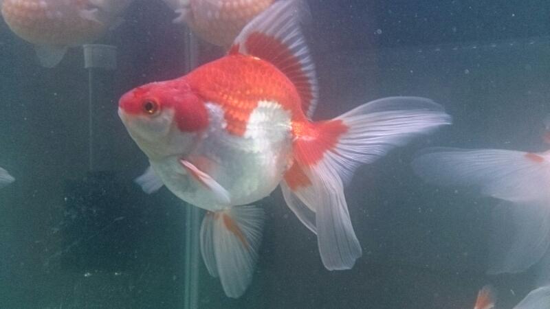 金魚紹介~加須から迎えた2匹~_b0298605_3492311.jpg