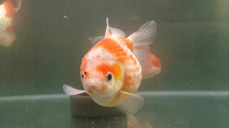 金魚紹介~加須から迎えた2匹~_b0298605_3494221.jpg