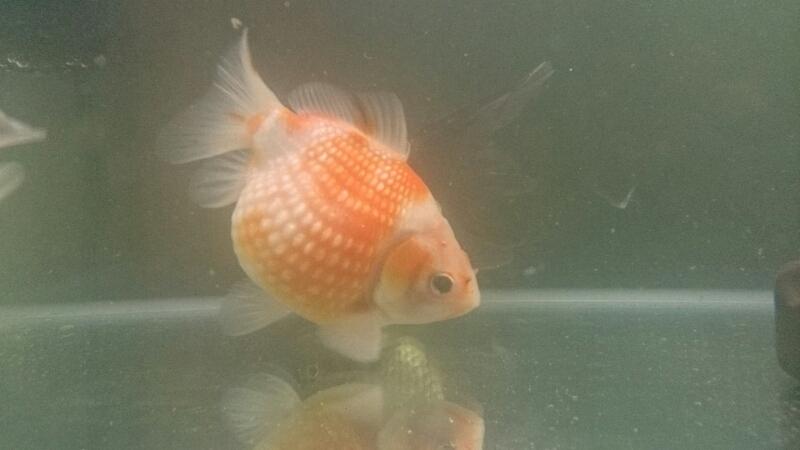 金魚紹介~加須から迎えた2匹~_b0298605_3495160.jpg