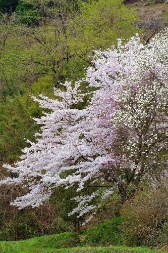 名もなき桜_b0314043_08052218.jpg