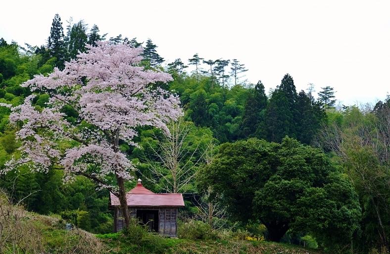 名もなき桜_b0314043_08053865.jpg