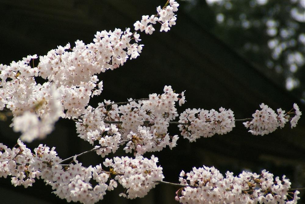桜の博物館_d0001843_22594053.jpg