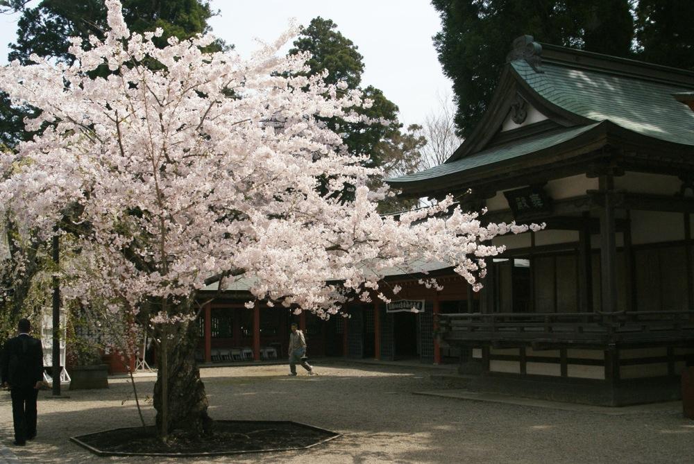 桜の博物館_d0001843_23162097.jpg