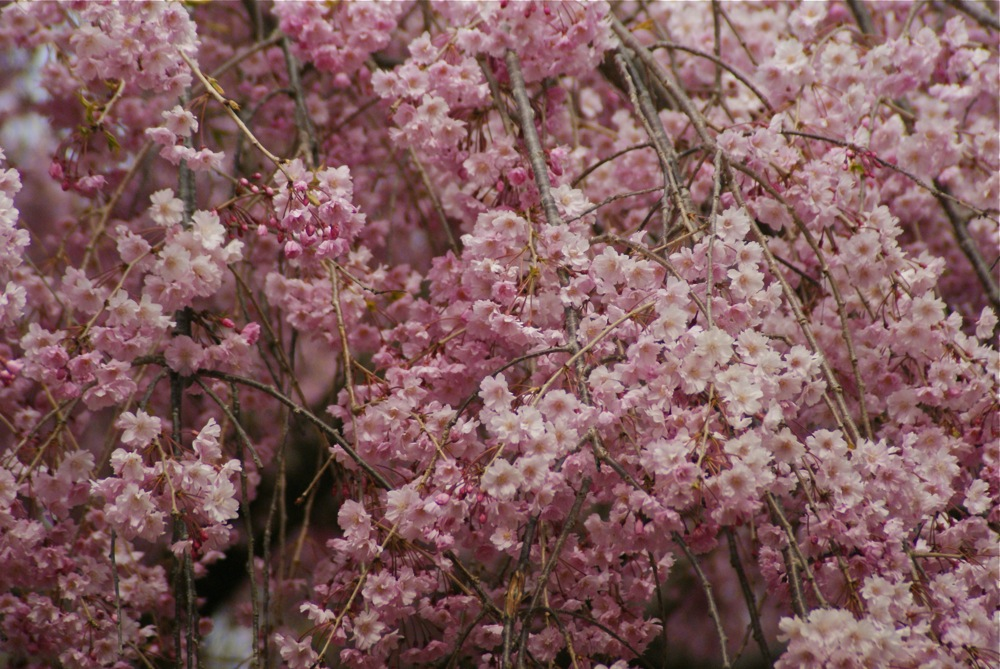 桜の博物館_d0001843_2322161.jpg