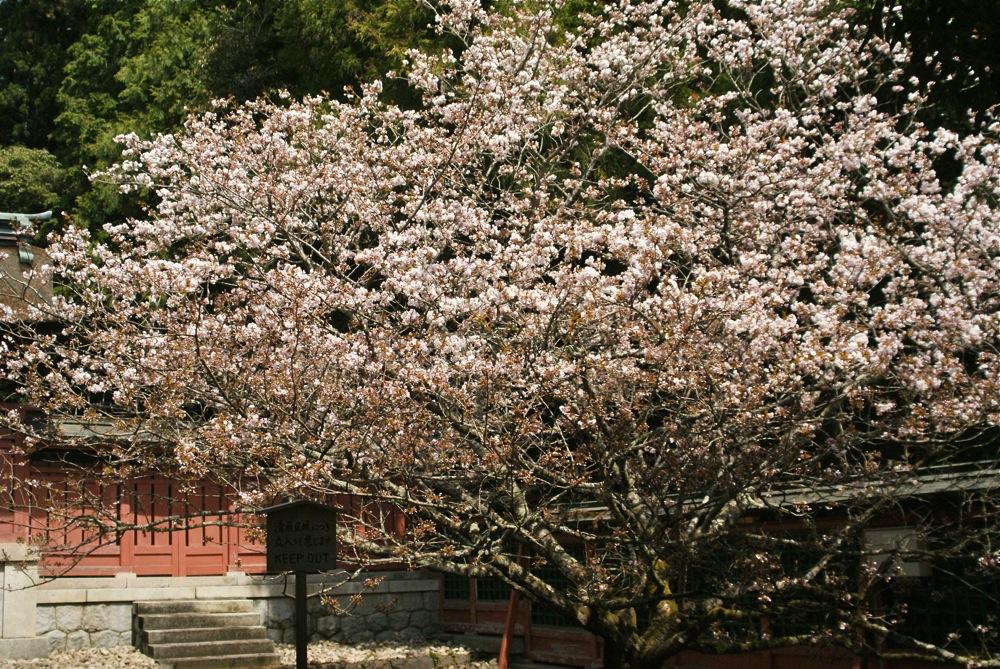 桜の博物館_d0001843_23262784.jpg