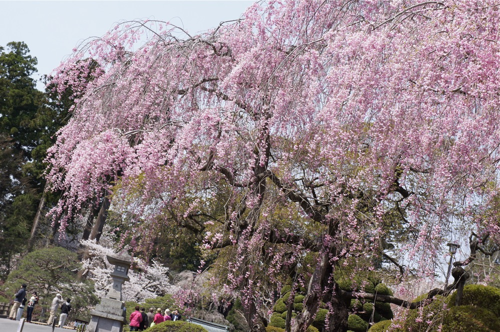 桜の博物館_d0001843_2342233.jpg