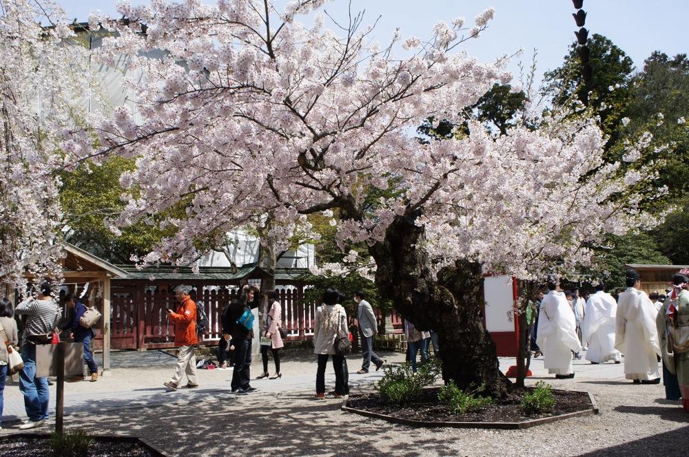 桜の博物館_d0001843_23461586.jpg