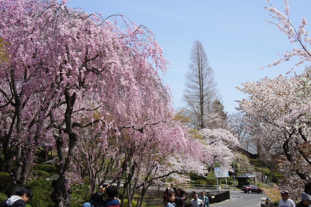 桜の博物館_d0001843_2353124.jpg