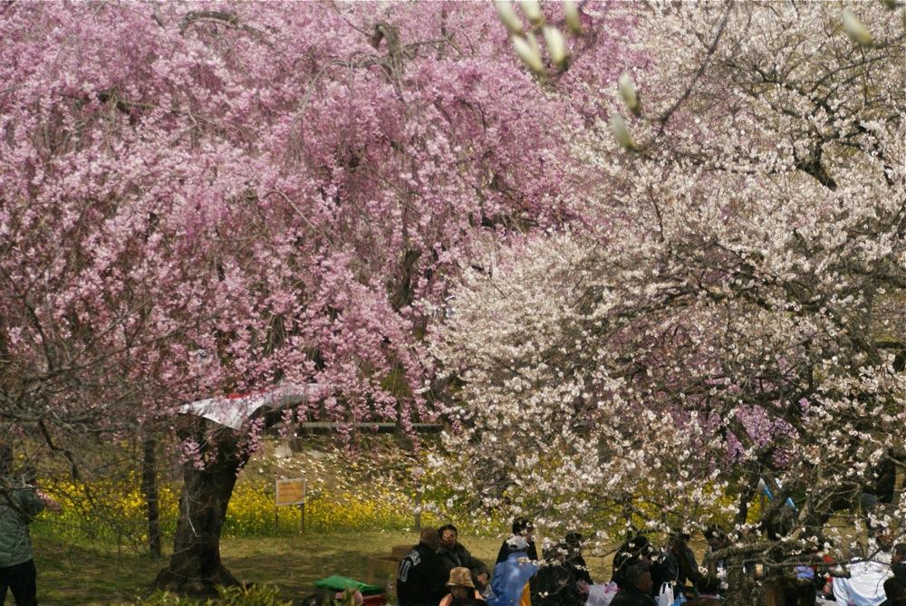 桜の博物館_d0001843_23532273.jpg