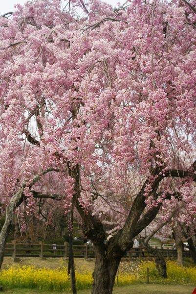 桜の博物館_d0001843_2354128.jpg