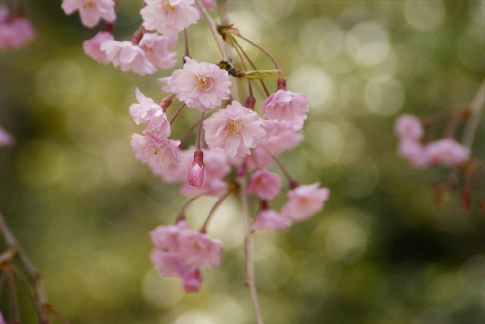 桜の博物館_d0001843_2363875.jpg