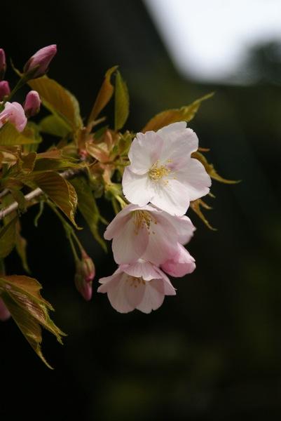 桜の博物館_d0001843_23854100.jpg