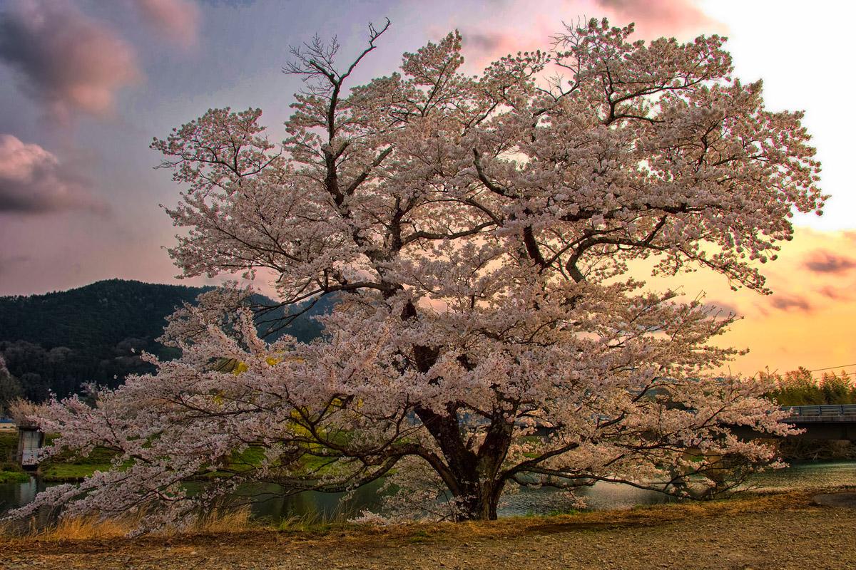 桜 2014 丹波                   _f0021869_20503241.jpg
