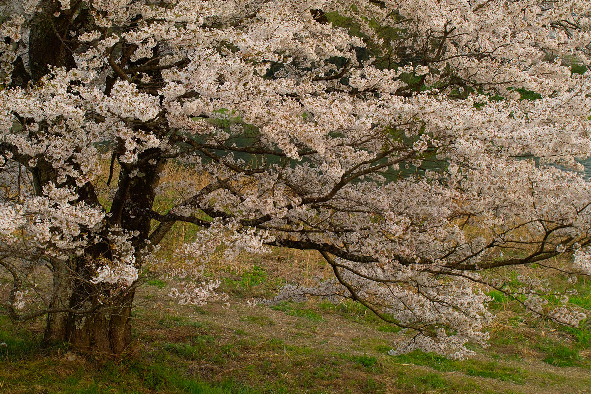 桜 2014 丹波                   _f0021869_20524998.jpg
