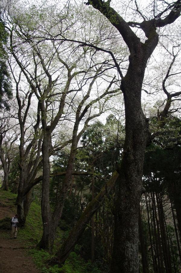 今日の櫻2014.4.20 ヤマザクラ_e0082981_22235410.jpg