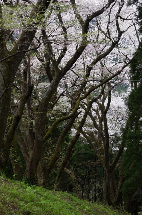 今日の櫻2014.4.20 ヤマザクラ_e0082981_22252186.jpg