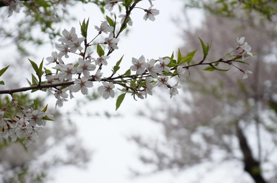 今日の櫻2014.4.20 ヤマザクラ_e0082981_2225650.jpg