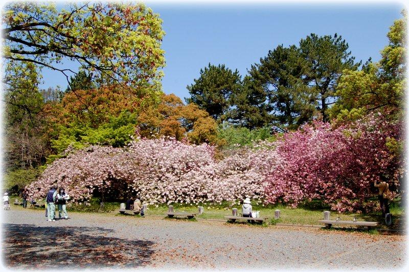 御所の八重桜_c0057390_2351057.jpg
