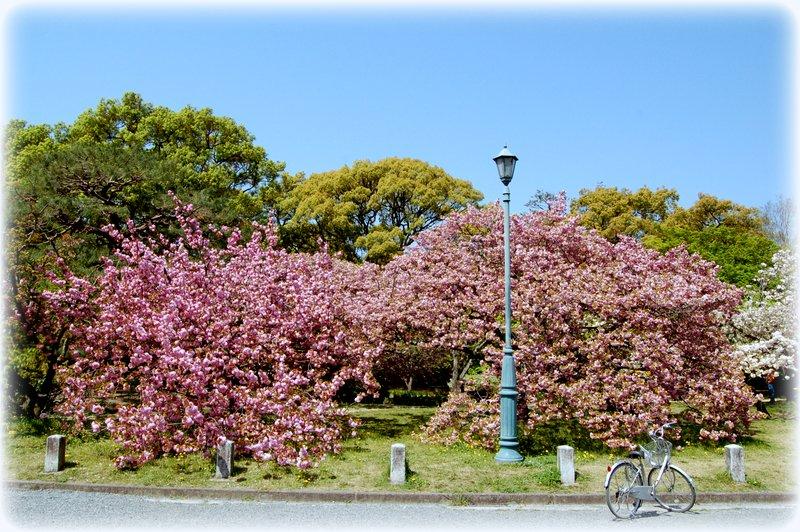 御所の八重桜_c0057390_2352029.jpg