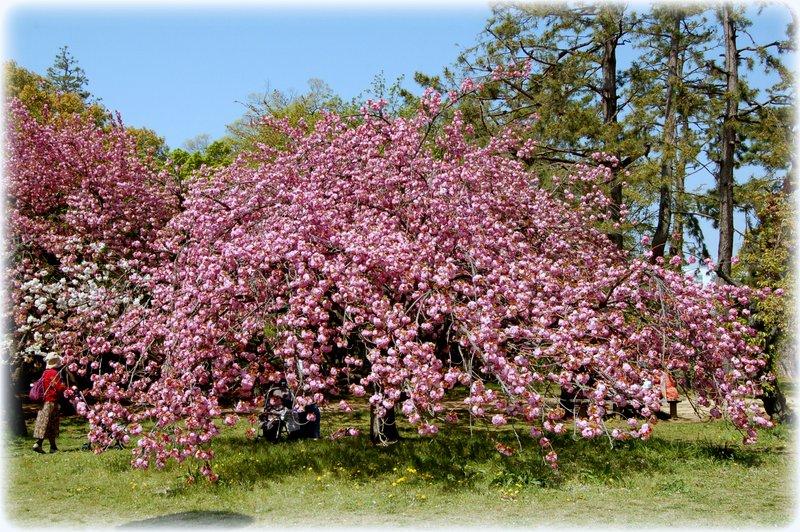 御所の八重桜_c0057390_2352530.jpg