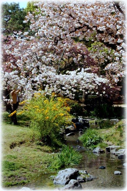 御所の八重桜_c0057390_2354573.jpg