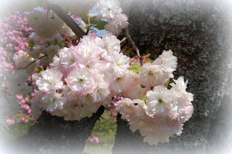 御所の八重桜_c0057390_2355015.jpg