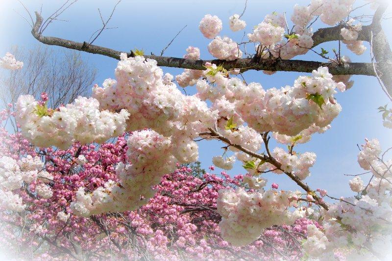 御所の八重桜_c0057390_2355542.jpg