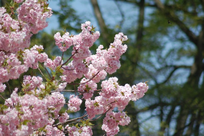 御所の八重桜_c0057390_236043.jpg