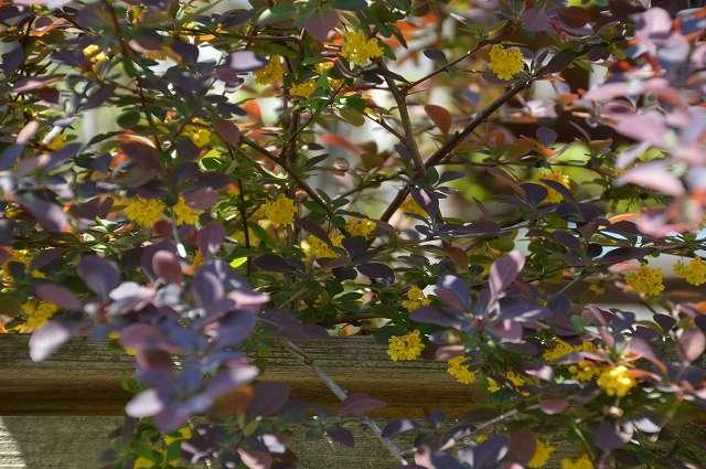 黄花ホウチャクソウ、銅葉のメギ_c0124100_2224551.jpg