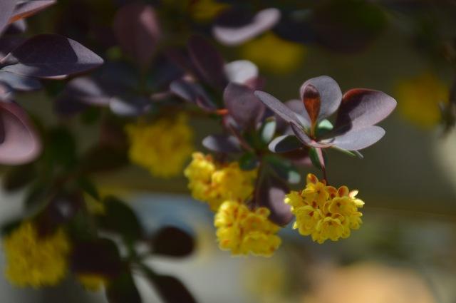 黄花ホウチャクソウ、銅葉のメギ_c0124100_22251084.jpg